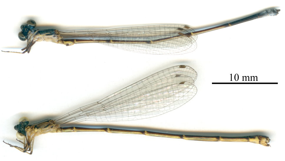 Aceratobasis nathaliae