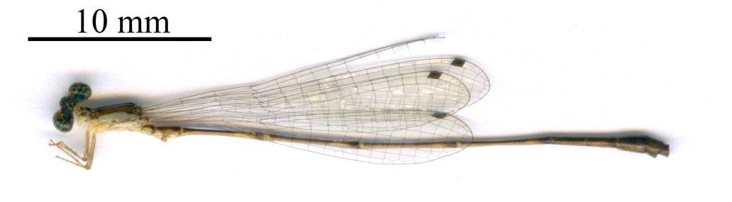 Forcepsioneura garrisoni 2400 dpi Holotype
