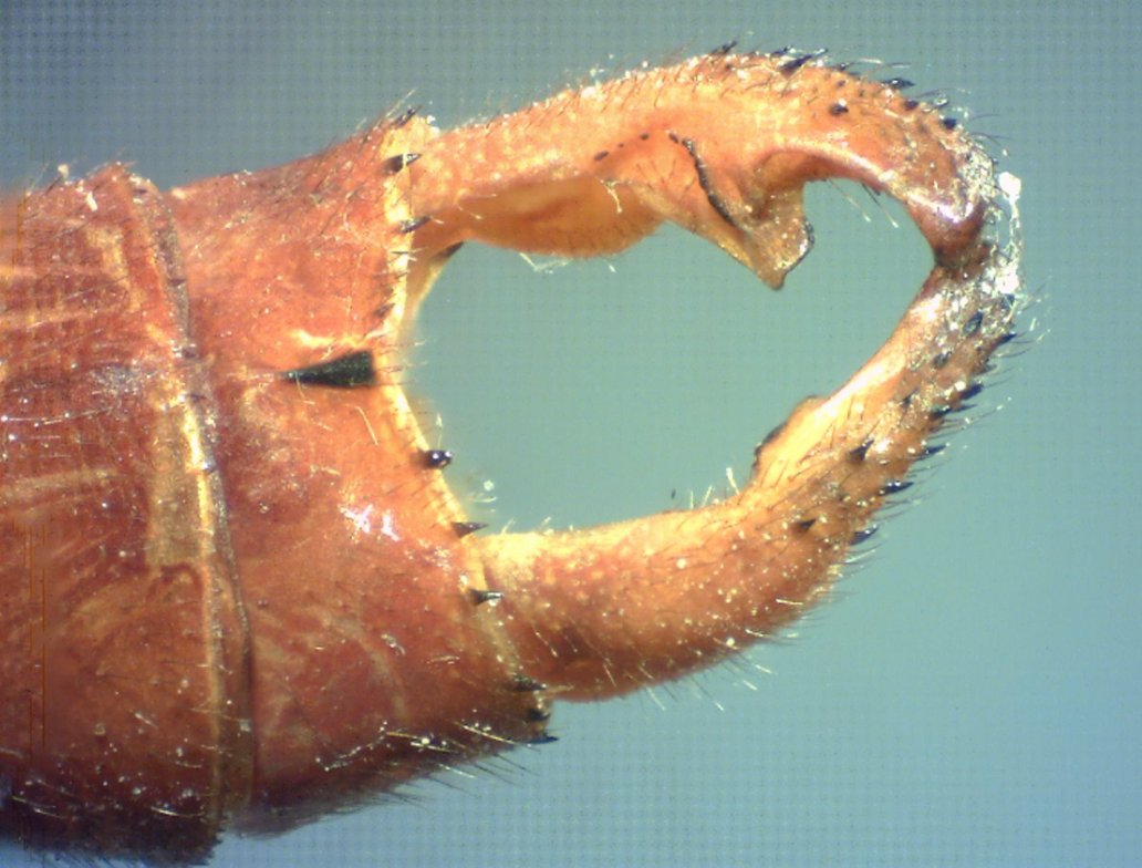 Heteragrion freddiemercuryi male appendages mediodorsal view