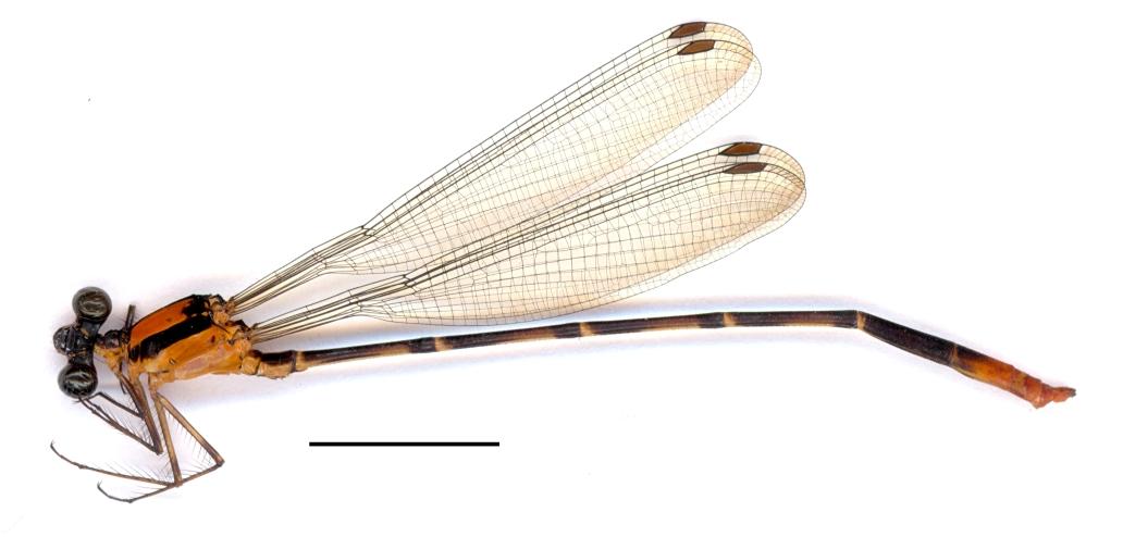Heteragrion freddiemercuryi male habitus (2400 dpi)