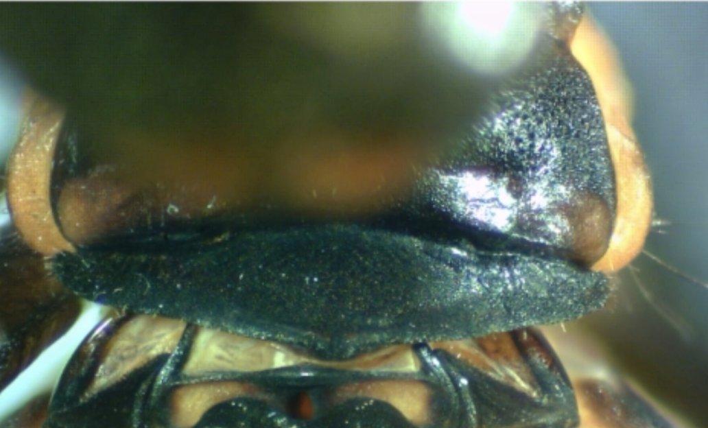 Heteragrion freddiemercuryi male prothorax dorsal view